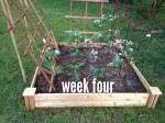 Trellised the beans and cucumbers and started using an insecticide.